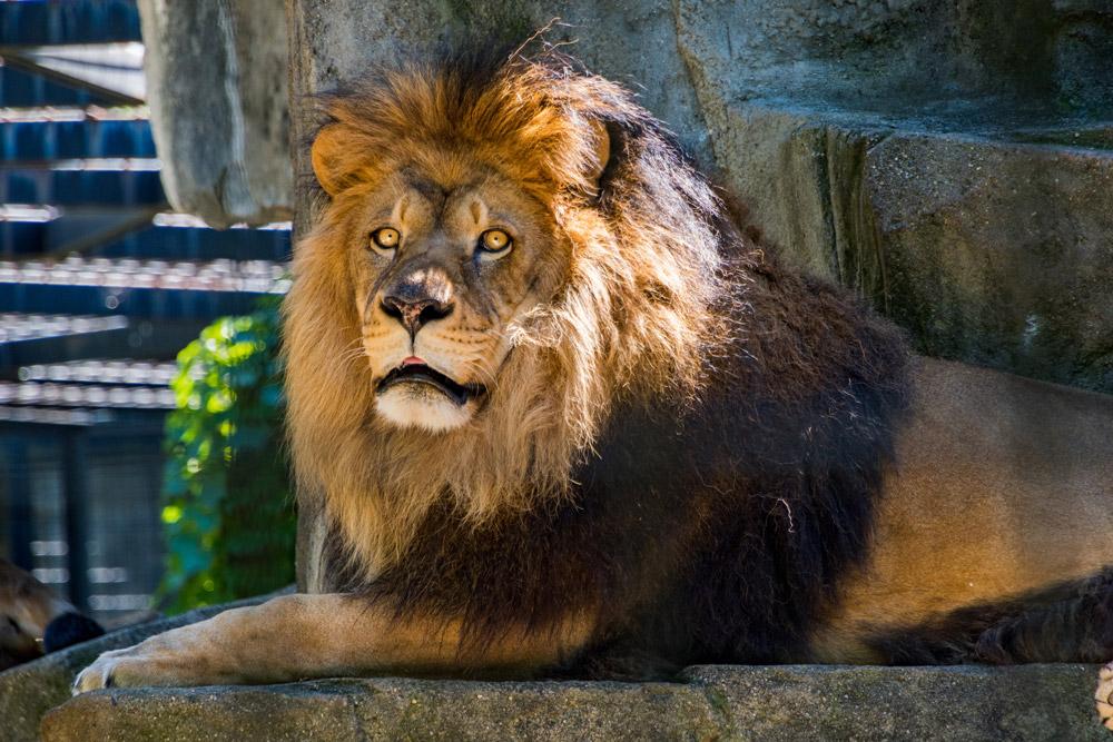 leeuw-burgers-zoo